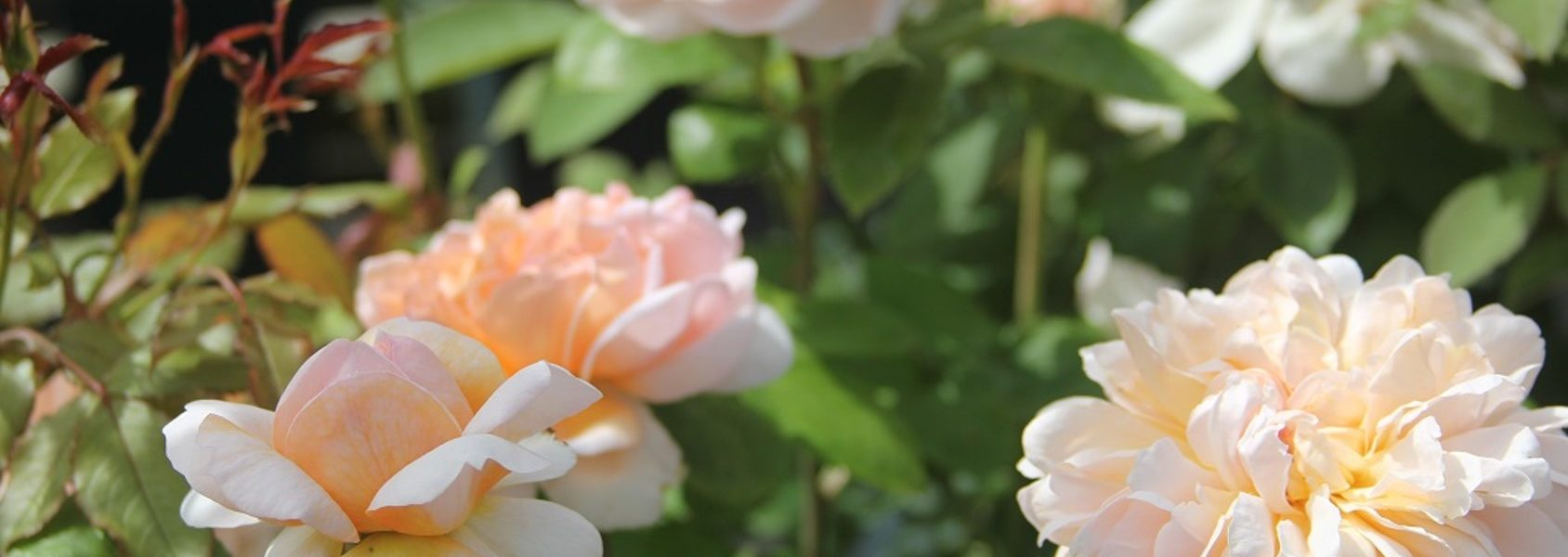 the lady gardener rose review the right roses score best top garden store david austin english roses rose products rose rating the right leap rose food fertilizer
