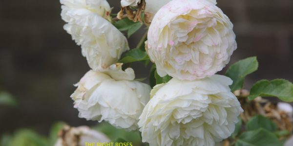Tranquillity rose review the right roses score best top garden store david austin english roses rose products rose rating the right leap rose food fertilizer