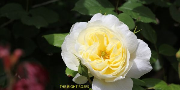 Vanessa Bell rose review the right roses score best top garden store david austin english roses rose products rose rating the right leap rose food fertilizer