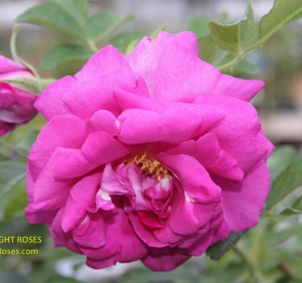 Wild Edric rose review the right roses score best top garden store david austin english roses rose products rose rating the right leap rose food fertilizer