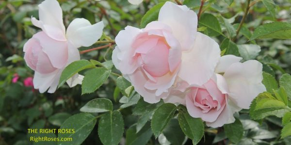 Wildeve rose review the right roses score best top garden store david austin english roses rose products rose rating the right leap rose food fertilizer