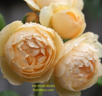 Wollerton Old Hall rose review the right roses score best top garden store david austin english roses rose products rose rating the right leap rose food fertilizer