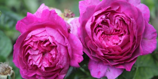 young lycidas rose review the right roses score best top garden store david austin english roses rose products rose rating the right leap rose food