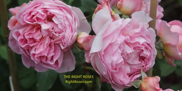 boscobel rose review the right roses score best top garden store david austin english roses rose products rose rating the right leap rose food