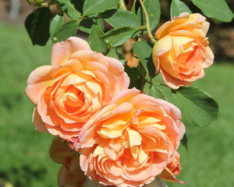 lady of shalott rose review the right roses score best top garden store david austin english roses rose products rose rating the right leap rose food
