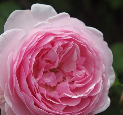 olivia rose austin rose review the right roses score best top garden store david austin english roses rose products rose rating the right leap rose food