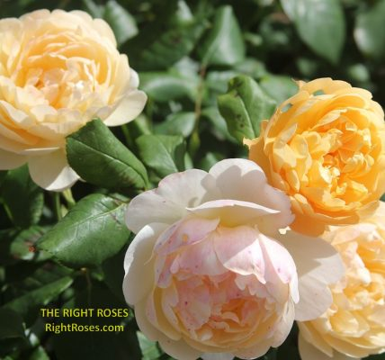 Roald Dahl rose review the right roses score best top garden store david austin english roses rose products rose rating the right leap rose food fertilizer