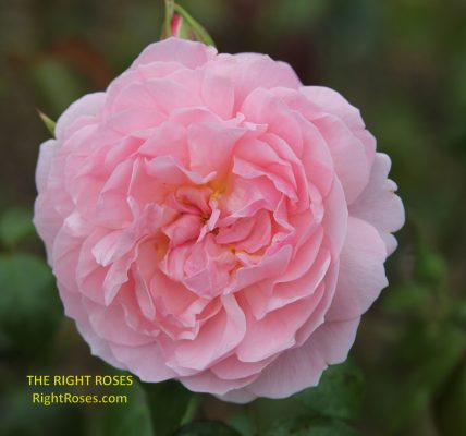 The best rose review of rose 'Strawberry Hill' by The Right Roses. Our in-depth reviews have been trusted by millions gardeners worldwide. The Right Roses team uses our own The Right Roses Score, which is the most comprehensive rose rating system, to assess the overall quality of a rose. All information and rose products: best top garden store, david austin, english roses, rose products, rose rating, the right leap, rose food, fertilizer