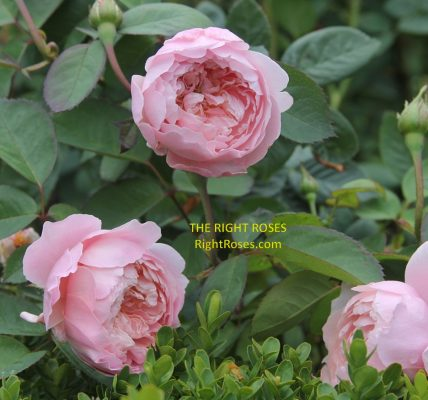 the Alnwick rose review the right roses score best top garden store david austin english roses rose products rose rating the right leap rose food fertilizer