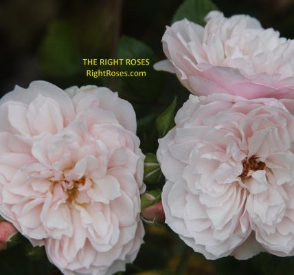 the generous gardener rose review the right roses score best top garden store david austin english roses rose products rose rating the right leap rose food