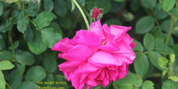 thomas a becket rose review the right roses score best top garden store david austin english roses rose products rose rating the right leap rose food fertilizer