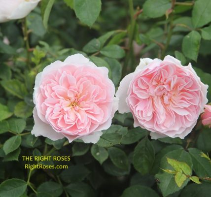 wisley 2008 rose review the right roses score best top garden store david austin english roses rose products rose rating the right leap rose food fertilizer