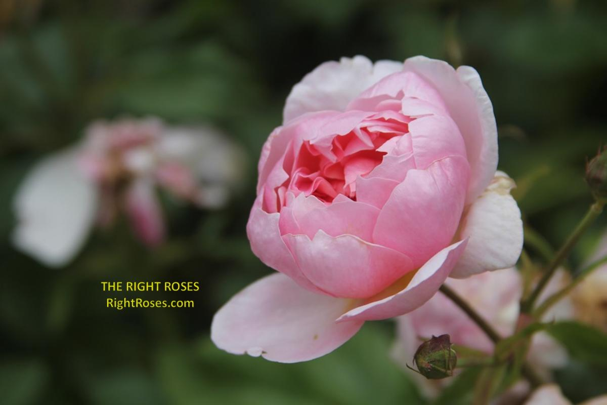 Anne Boleyn rose The Right roses review english roses david austin gardening