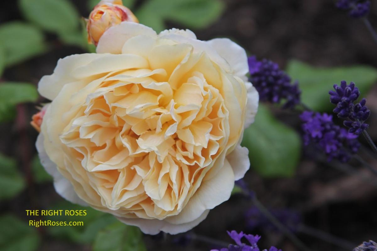 Crown Princess Margareta rose. The Right Roses. Rose review images. English rose. Photo credit: RightRoses.com