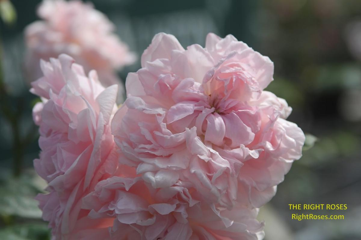 Eglantyne rose. The Right Roses. David Austin. English rose. Rose review. Rose images. Photo credit: RightRoses.com