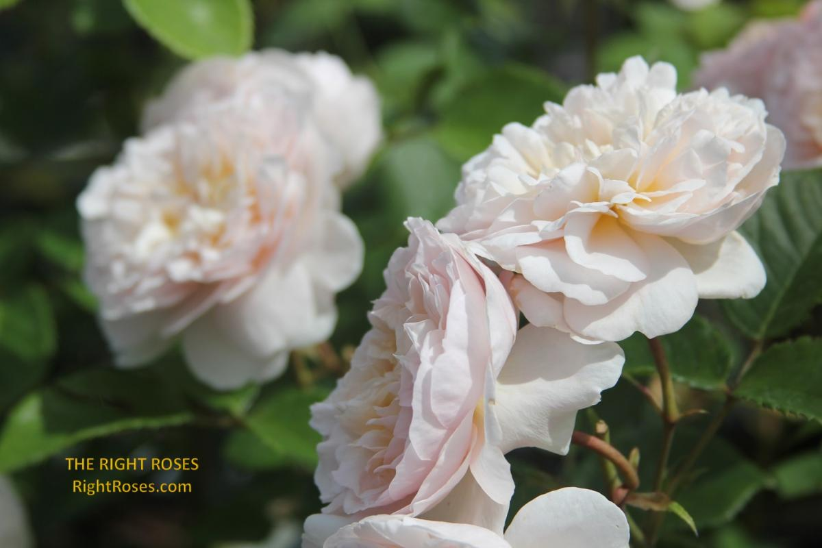 Emily Bronte rose. The Right Roses. Rose review. Rose comments. David Austin 2018. English rose. Photo credit: RightRoses.com