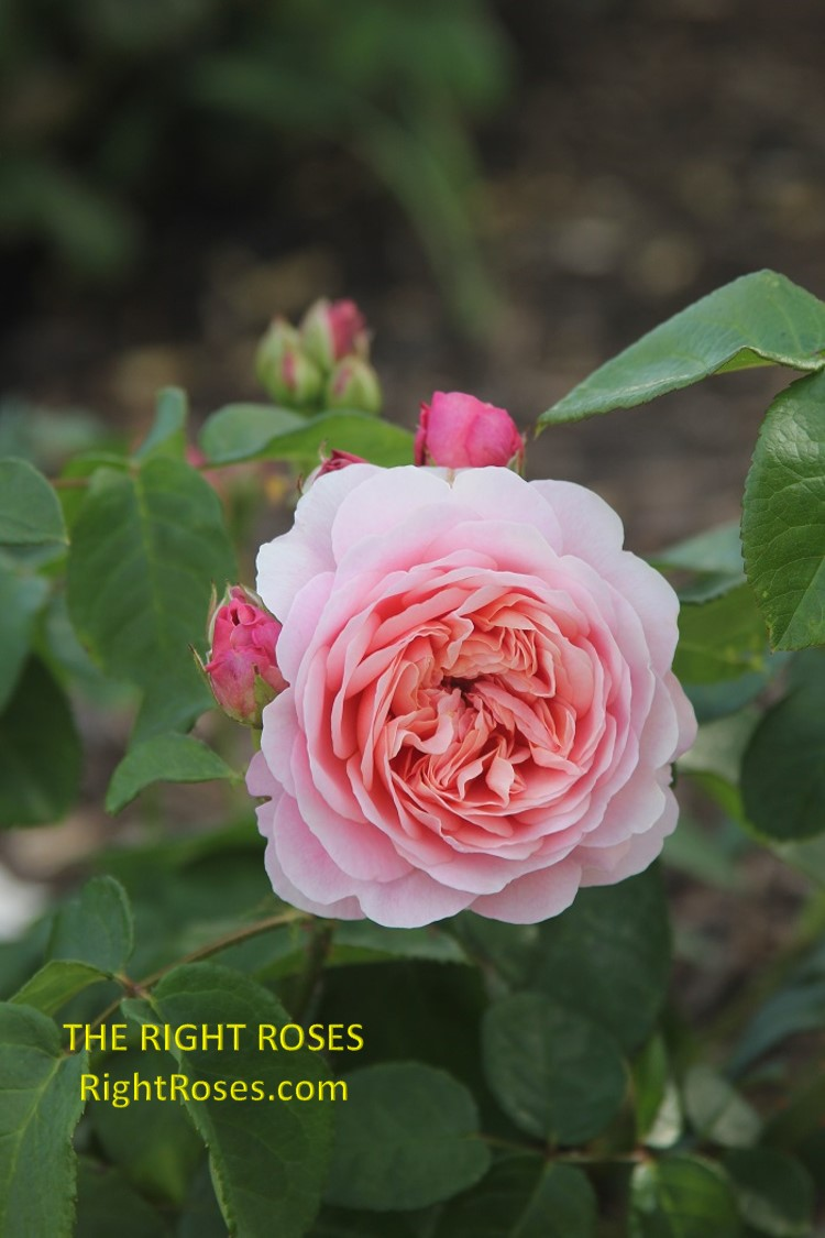 Eustacia Vye rose. The Right Roses. Rose review comments. English roses. David Austin roses. Photo credit: RightRoses.com