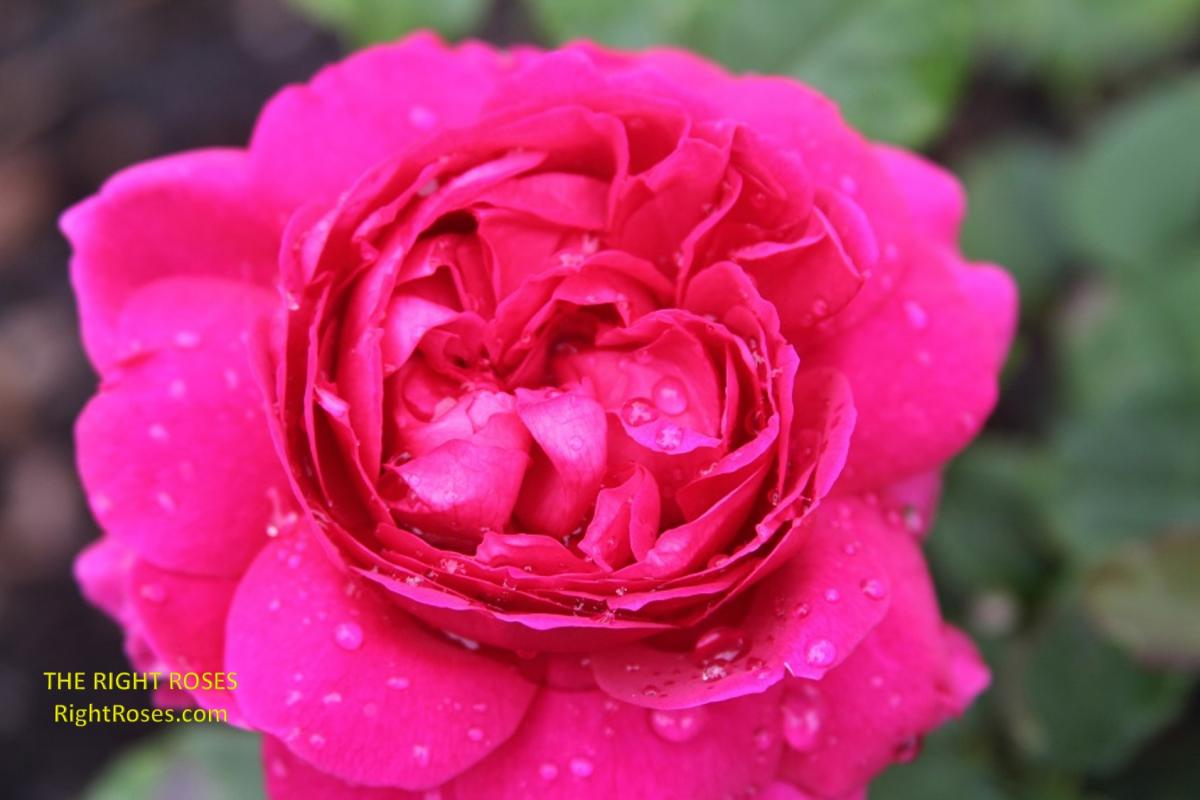Gabriel Oak rose. The Right Roses. Rose reviews. Rose comments. David Austin. Photo credit: RightRoses.com