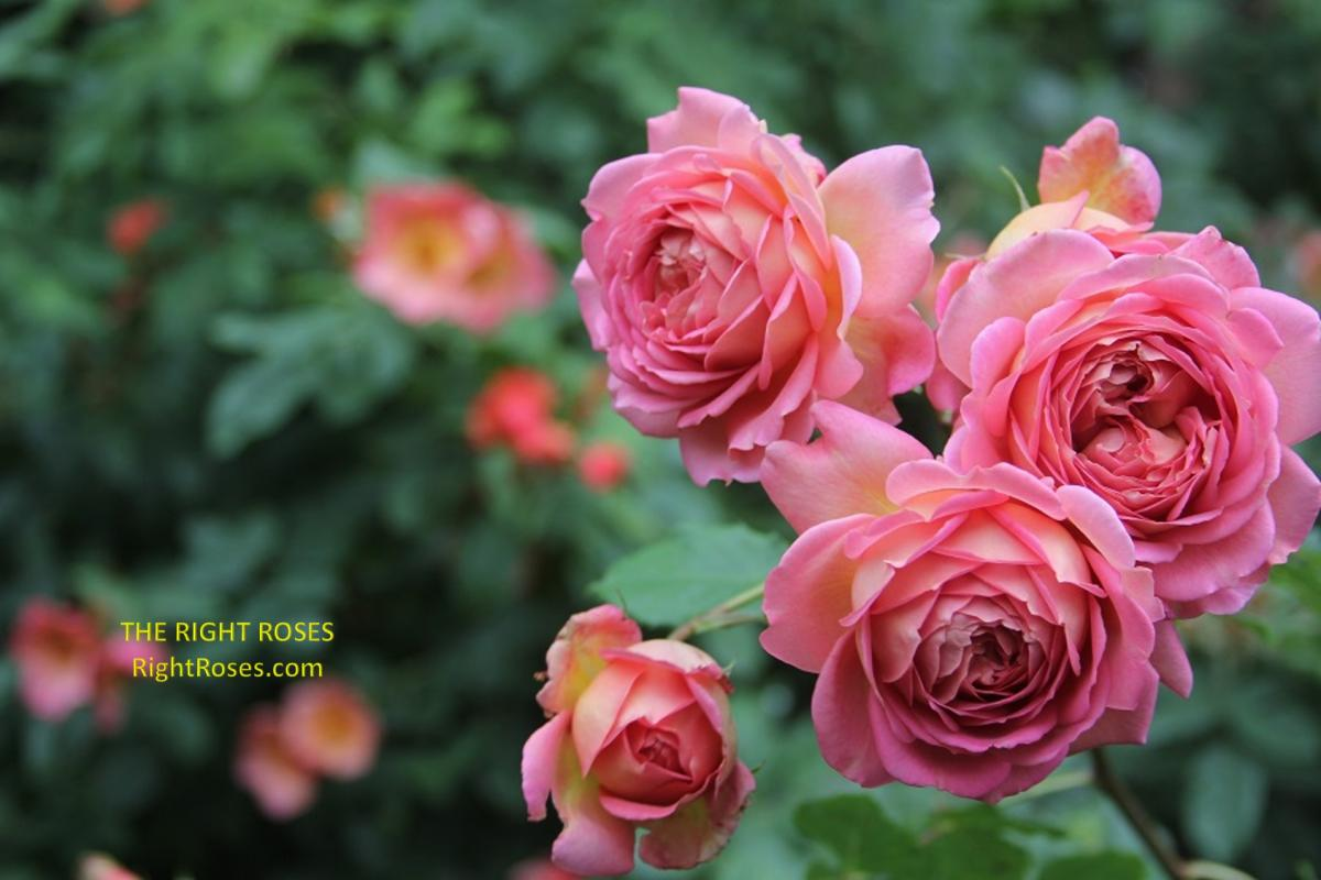 Jubilee Celebration rose. The Right Roses. Rose review images pictures. English roses. Photo credit: RightRoses.com