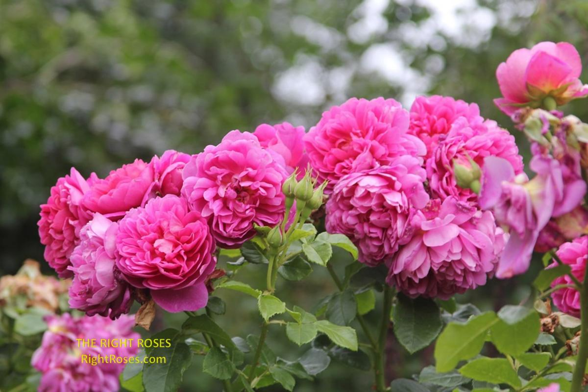 Princess Anne rose. The Right Roses. English roses. rose review comments. Photo credit: RightRoses.com