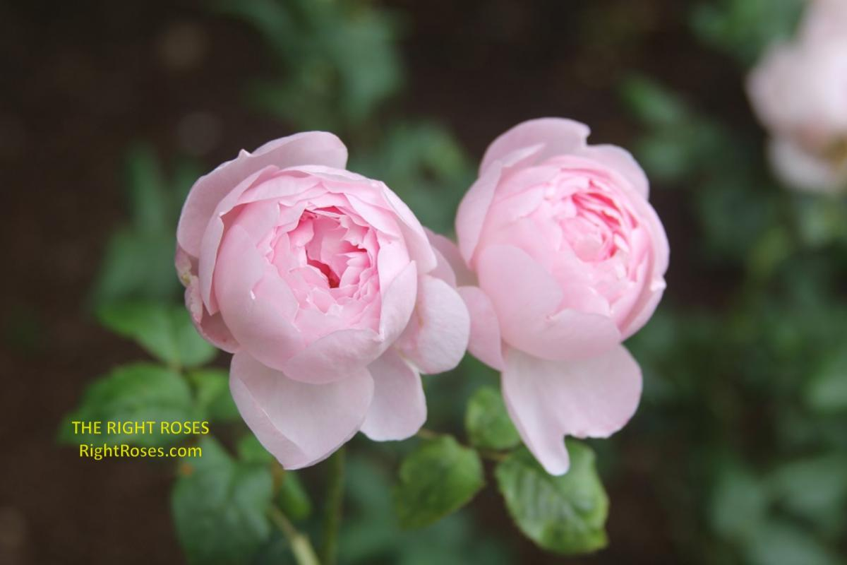 Scepter d Isle rose. The Right Roses. review images. photo credit: RightRoses.com. English roses
