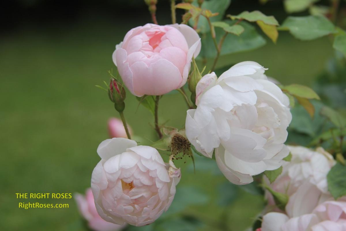 Scarborough Fair rose. The Right Roses. Rose review comments. English roses. David Austin. Photo credit: The Right Roses