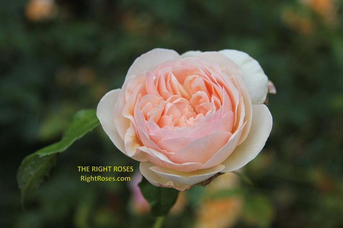Sweet Juliet rose The Right Roses review english garden david austin gardening nature