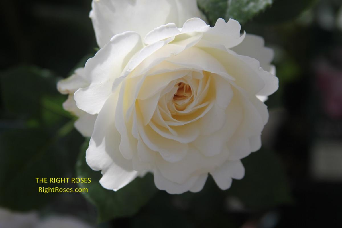 TRANQUILLITY rose The Right roses rose review organic gardening english roses david austin