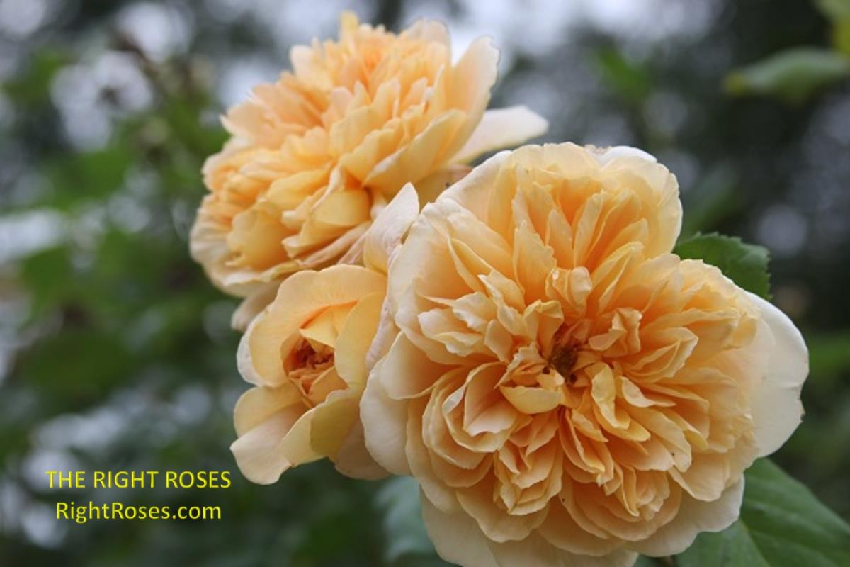 Tea Clipper rose The Right Roses review English roses David Austin gardening english garden