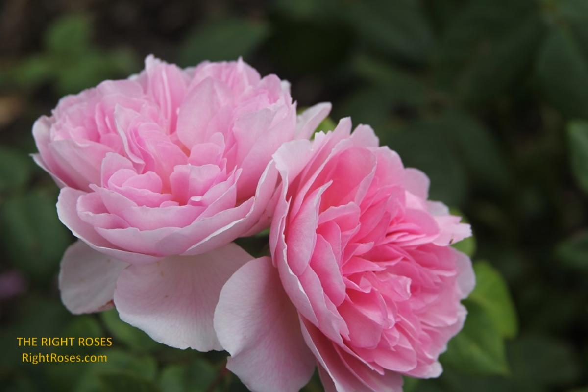 The Ancient Mariner rose. The Right Roses. Rose review. Rose comments. Photo credit: RightRoses.com
