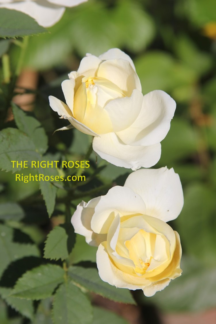 The Country Parson The Right Roses review experience score powerful tools english David Austin gardening