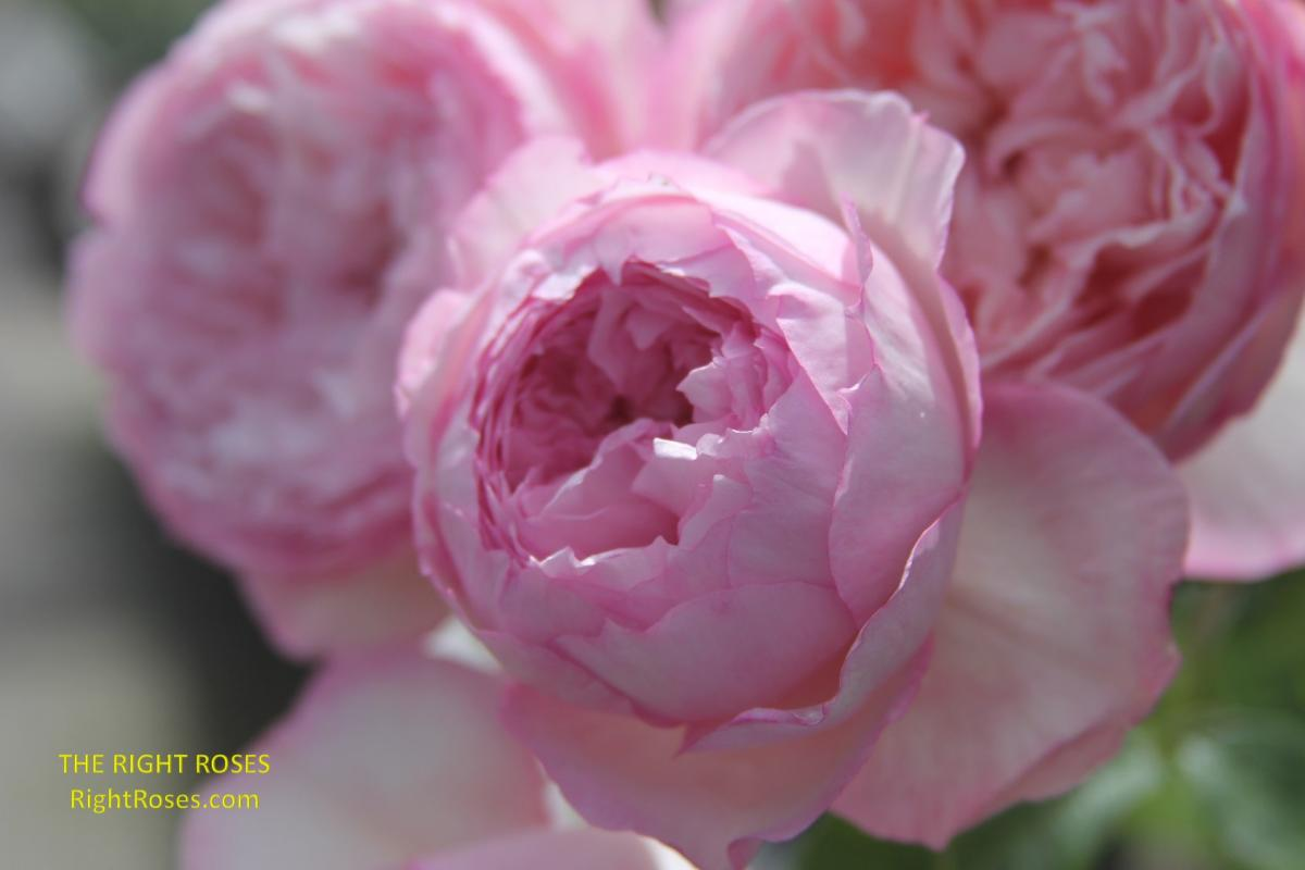 The Mill On The Floss rose. The Right Roses. Rose reviews. Rose comments. Photo credit: RightRoses.com. David Austin 2018.