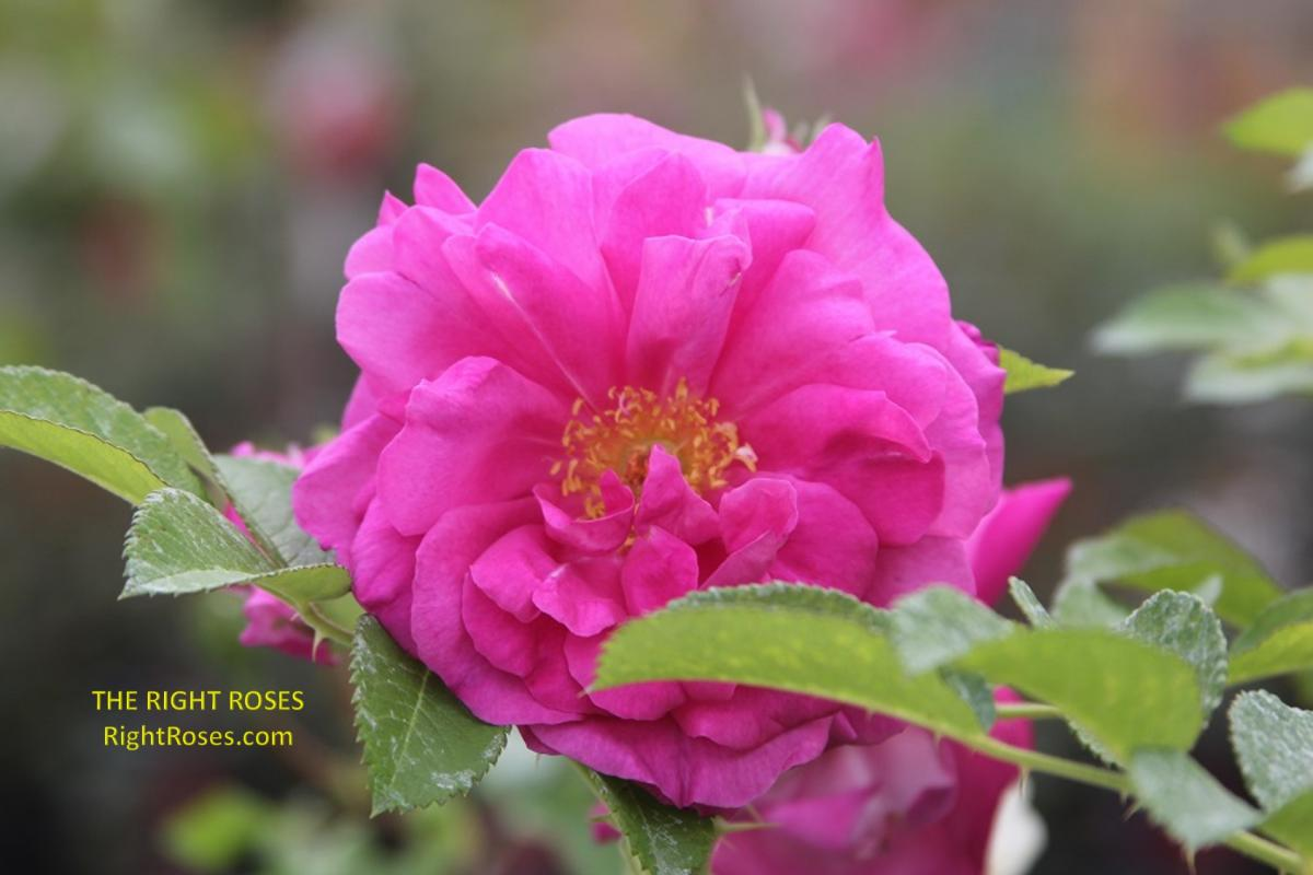 Wild Edric rose. The Right Roses. Rose review comments. English roses. David Austin. Photo credit: RightRoses.com